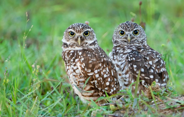 Photo wallpaper birds, owls, a couple