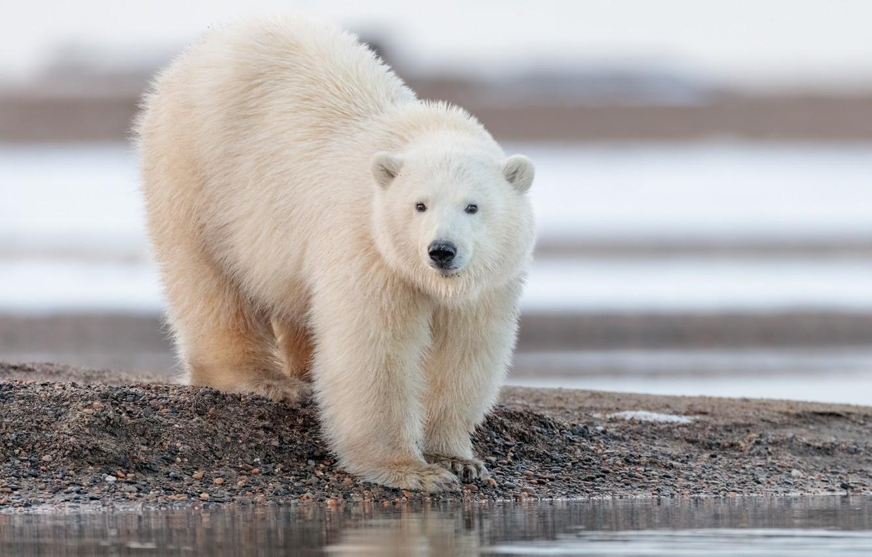 Photo wallpaper water, bear, Alaska, polar bear, polar bear