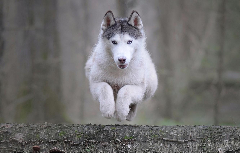 Photo wallpaper animal, jump, dog, log, husky, dog, Maria Anapolsky