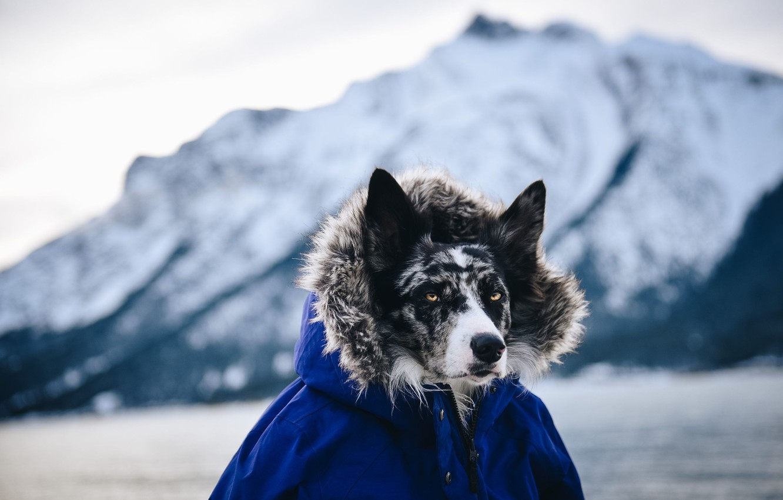 Photo wallpaper look, dog, jacket, hood, looks