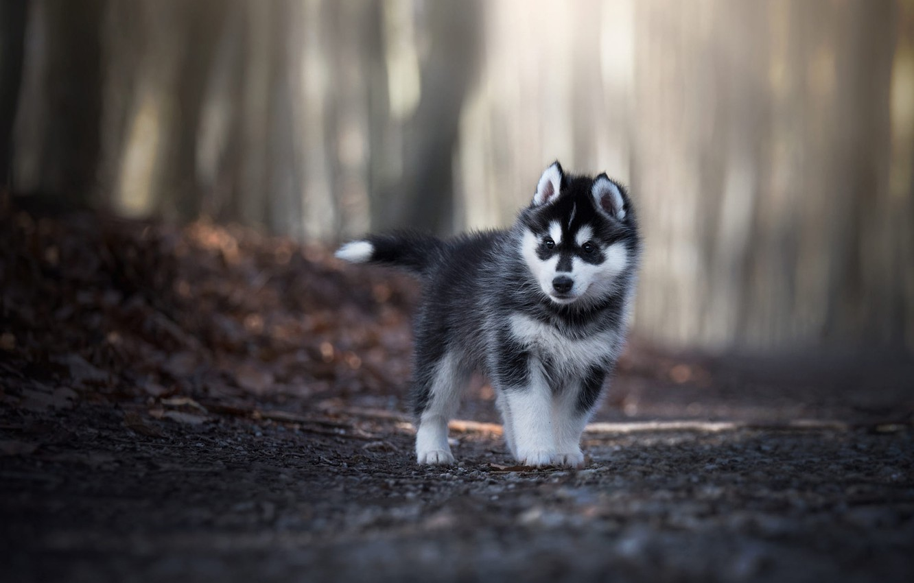 Photo wallpaper road, forest, look, leaves, light, trees, pose, Park, grey, background, foliage, dog, baby, puppy, walk, …