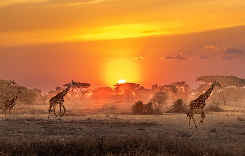 Photo wallpaper The sun, giraffes, Savannah, Africa, sun, Africa, savannah, giraffes