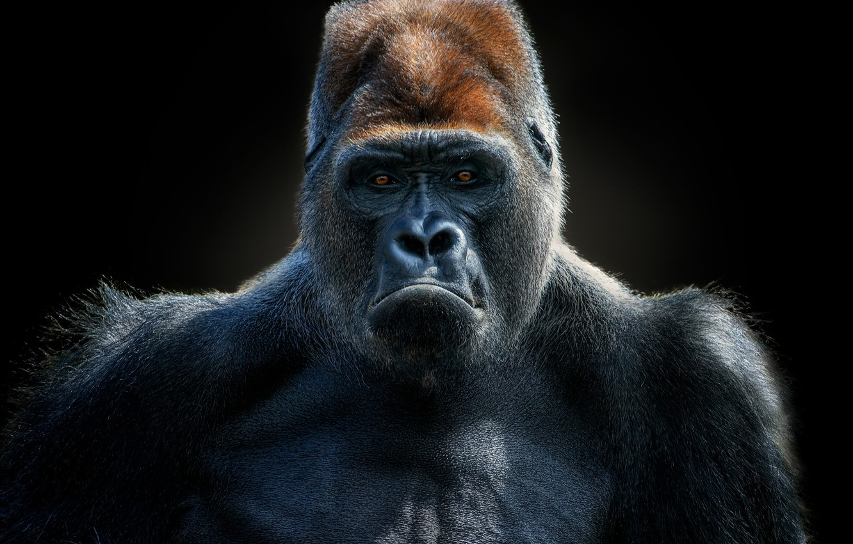 Photo wallpaper lighting, gorilla, Gorilla