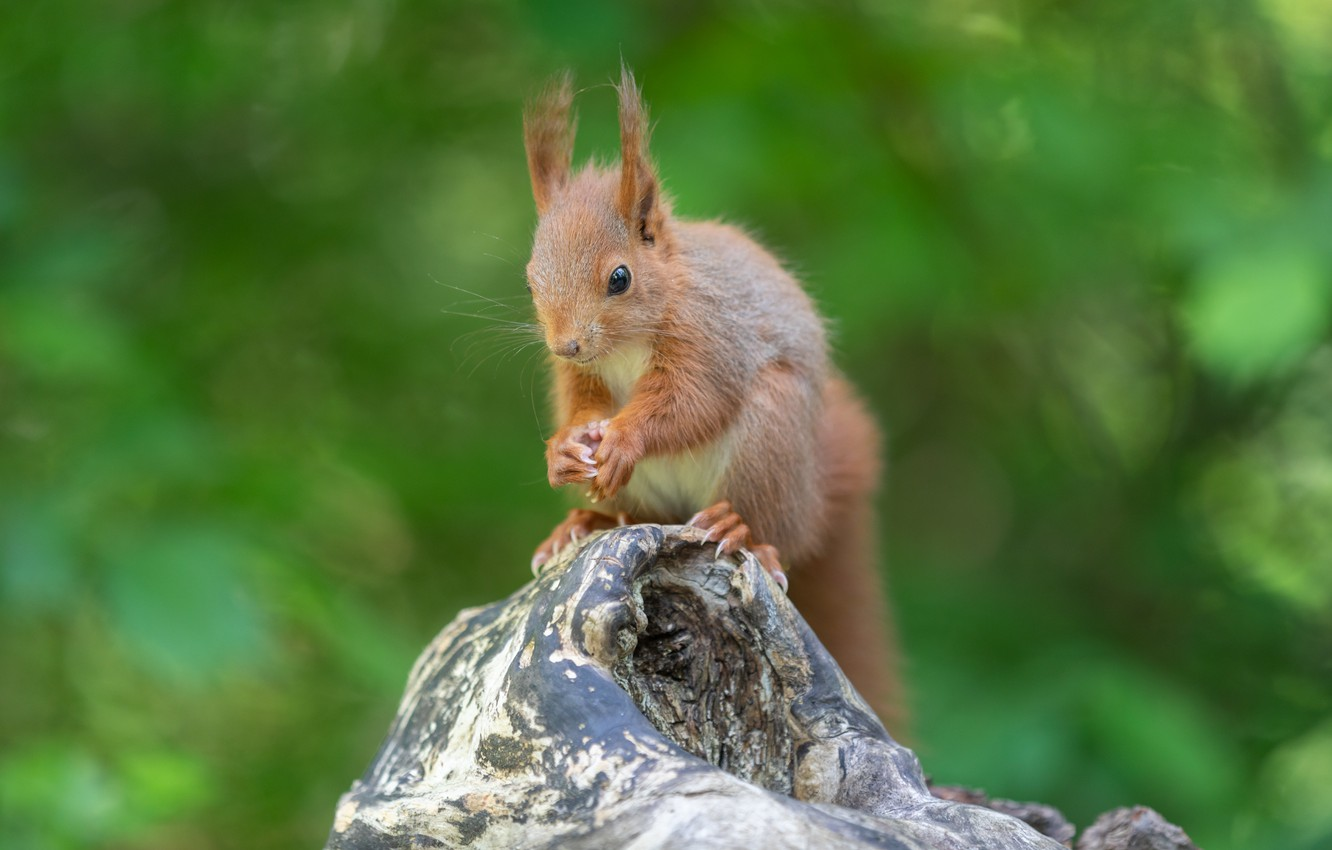 Photo wallpaper greens, summer, nature, tree, protein, squirrel, rodent