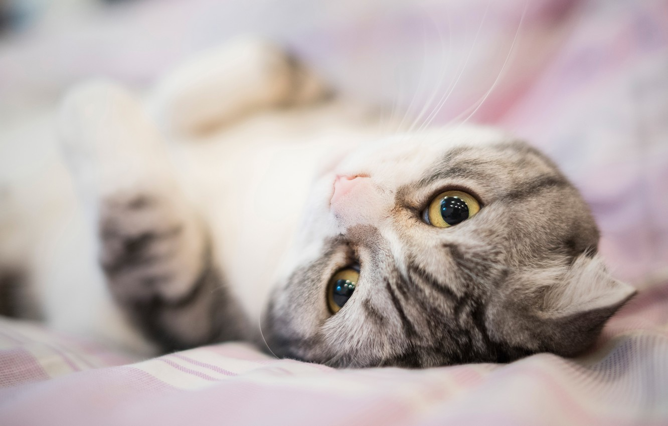 Photo wallpaper cat, eyes, cat, look, sweetheart, bed, portrait, muzzle, bed, lies, grey, striped, Scottish fold, fold