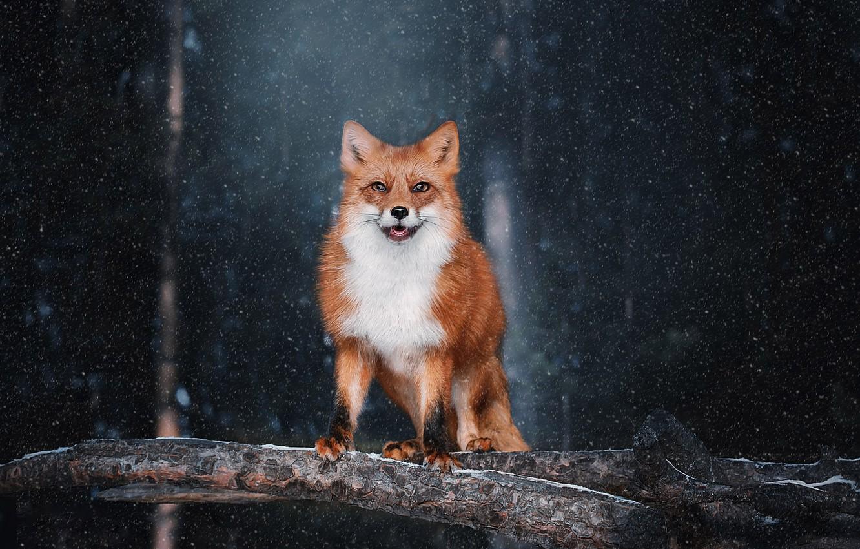 Photo wallpaper look, snow, background, Fox, red, Natalia Ponikarova