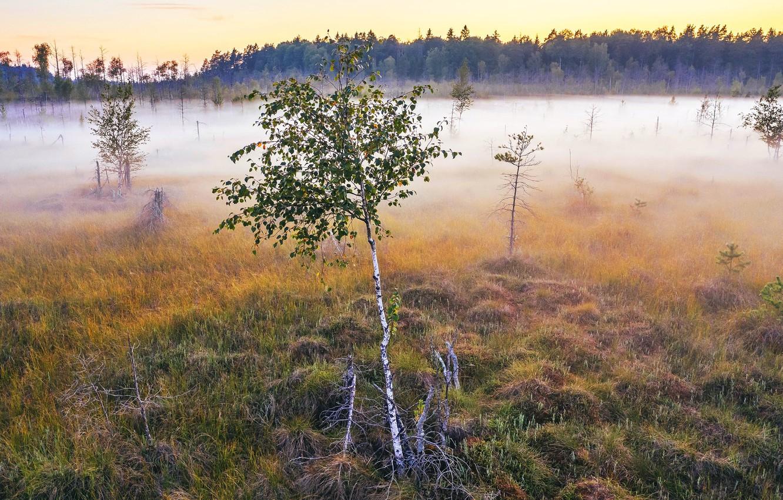 Photo wallpaper fog, morning, birch