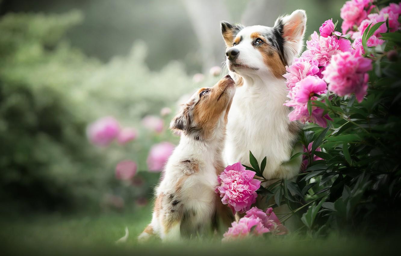 Photo wallpaper dogs, flowers, puppy, bokeh, peonies