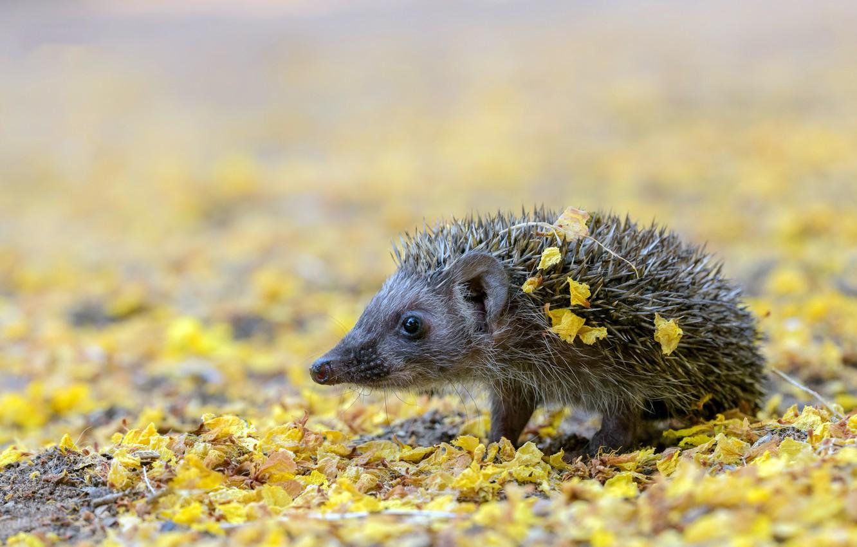 Photo wallpaper nature, background, hedgehog