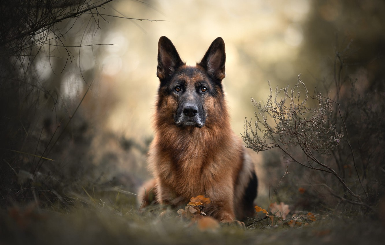 Photo wallpaper autumn, look, face, leaves, branches, nature, background, dog, German shepherd, bokeh