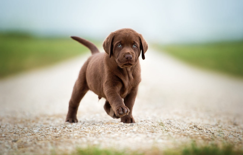Photo wallpaper road, field, look, pose, dog, baby, cute, puppy, walk, brown, chocolate, Retriever, foot