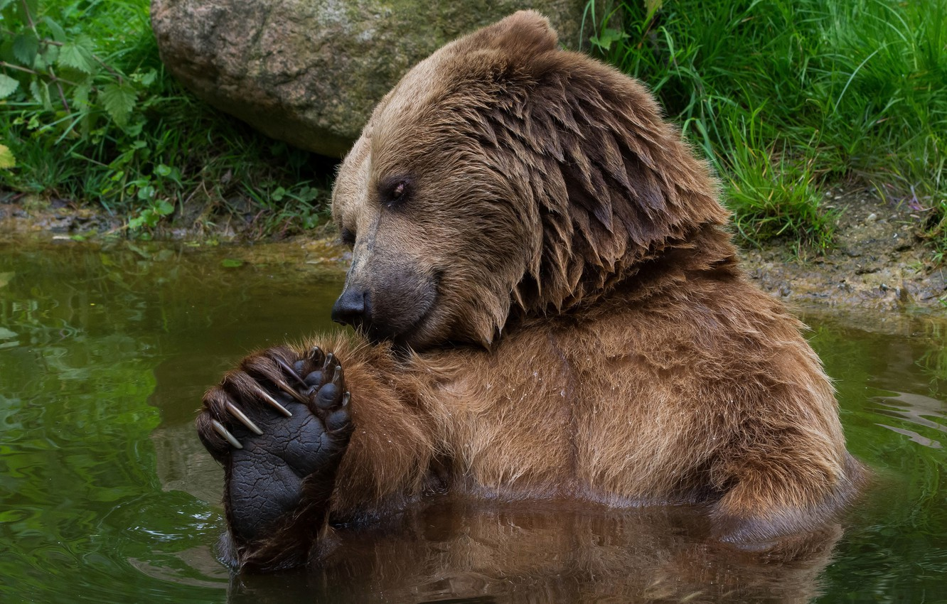 Photo wallpaper summer, grass, look, face, water, pose, shore, paws, bear, bathing, bear, claws, pond, bathed, wildlife, ...