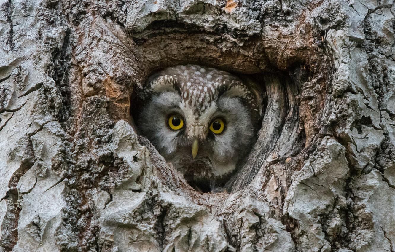 Photo wallpaper look, birds, tree, the hollow, Tengmalm's owl