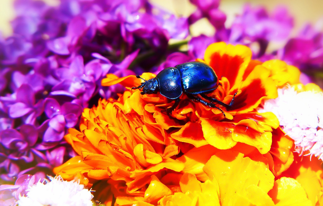 Photo wallpaper summer, macro, flowers, blue, background, black, bright, beetle, bouquet, petals, insect, orange, bright colors, lilac, …