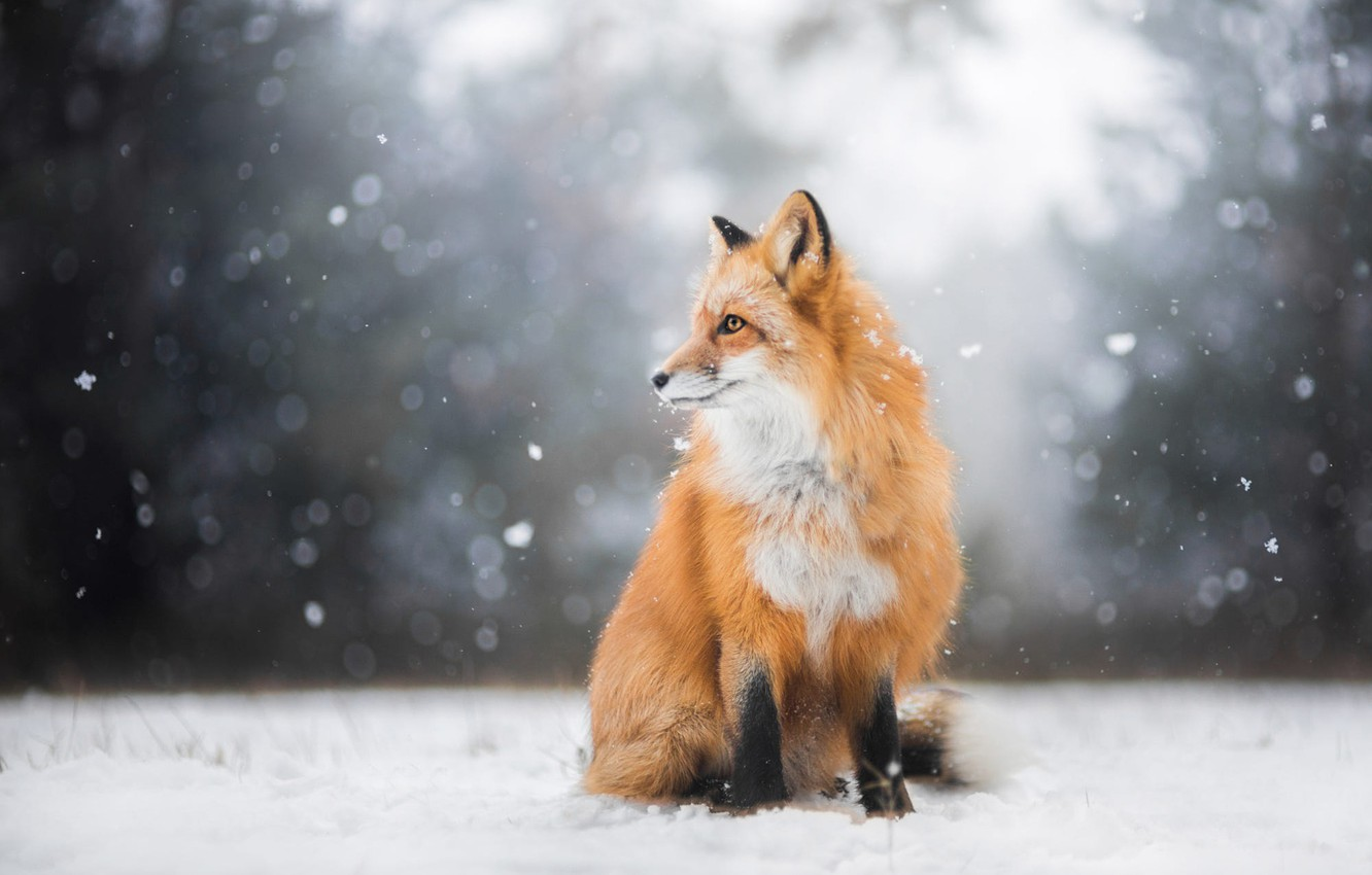 Photo wallpaper winter, forest, look, light, snow, nature, pose, background, Fox, profile, red, sitting, snowfall, Fox