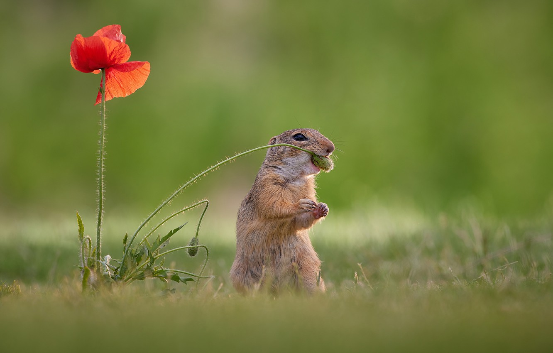 Photo wallpaper flower, background, Mac, gopher, rodent