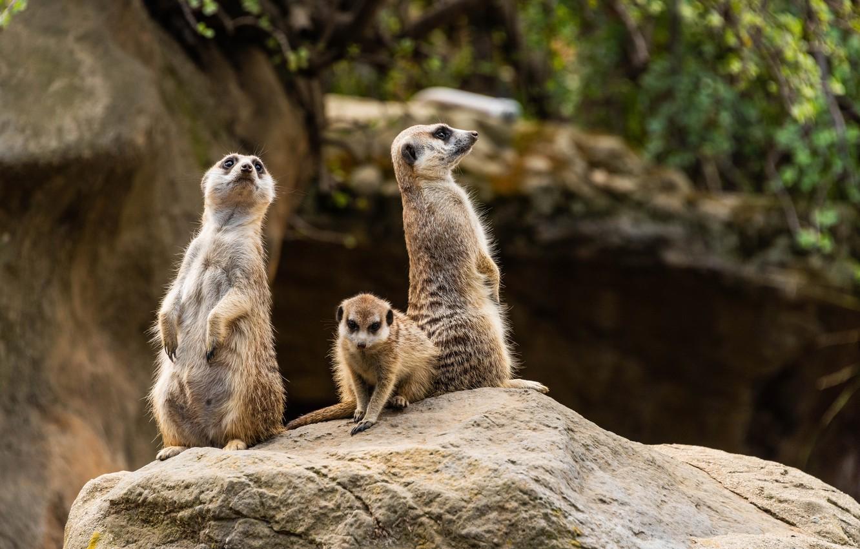 Photo wallpaper photo, Meerkat, Animals, Three