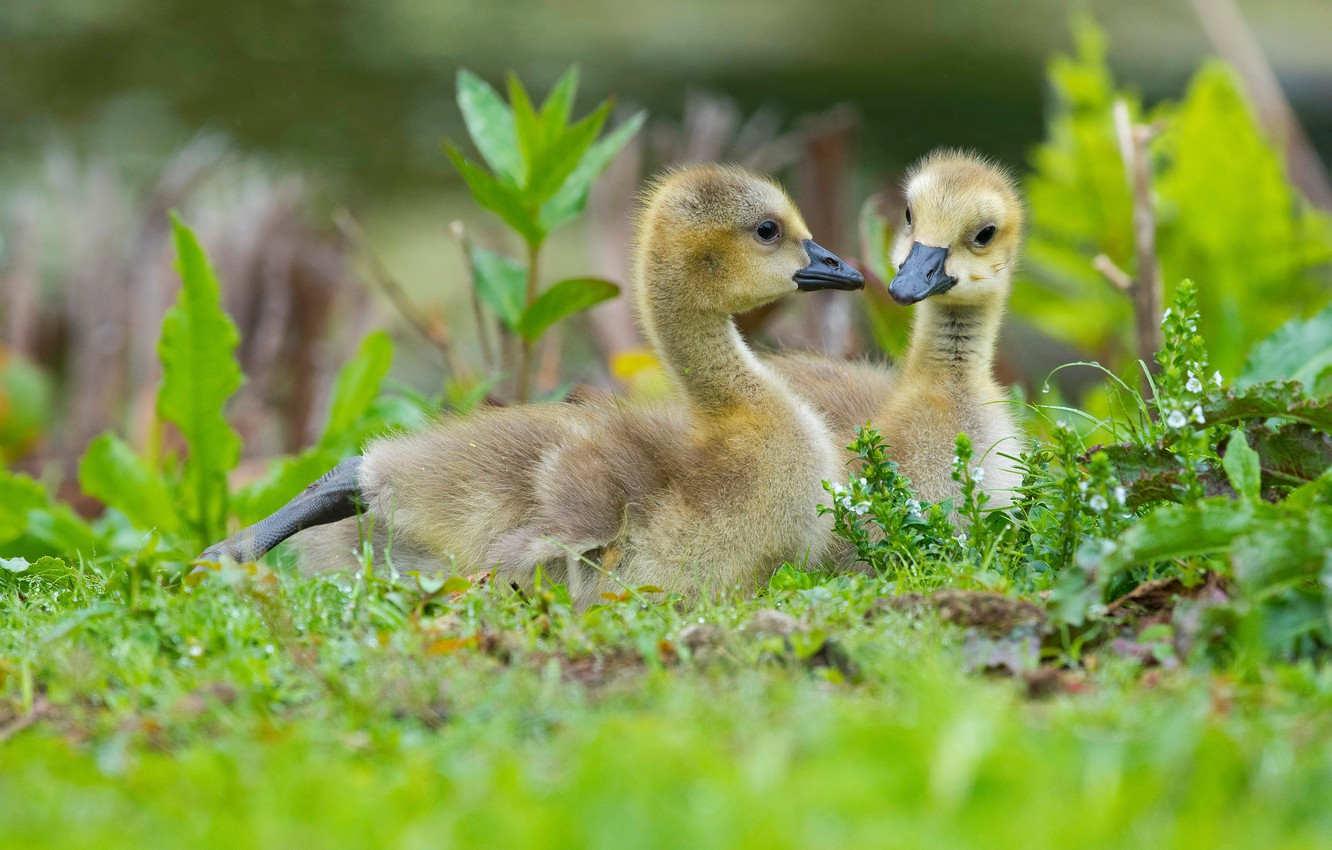 Photo wallpaper greens, grass, birds, glade, spring, pair, kids, a couple, two, geese, the goslings, Gosling, Gosling, …