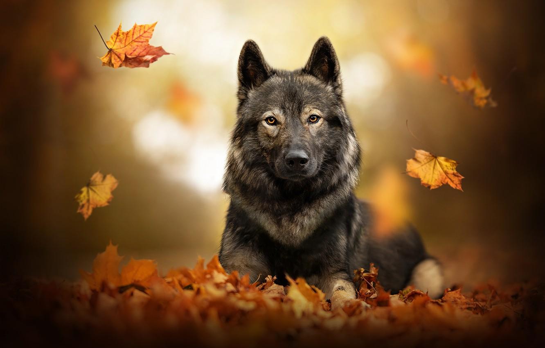 Photo wallpaper autumn, leaves, dog, falling leaves