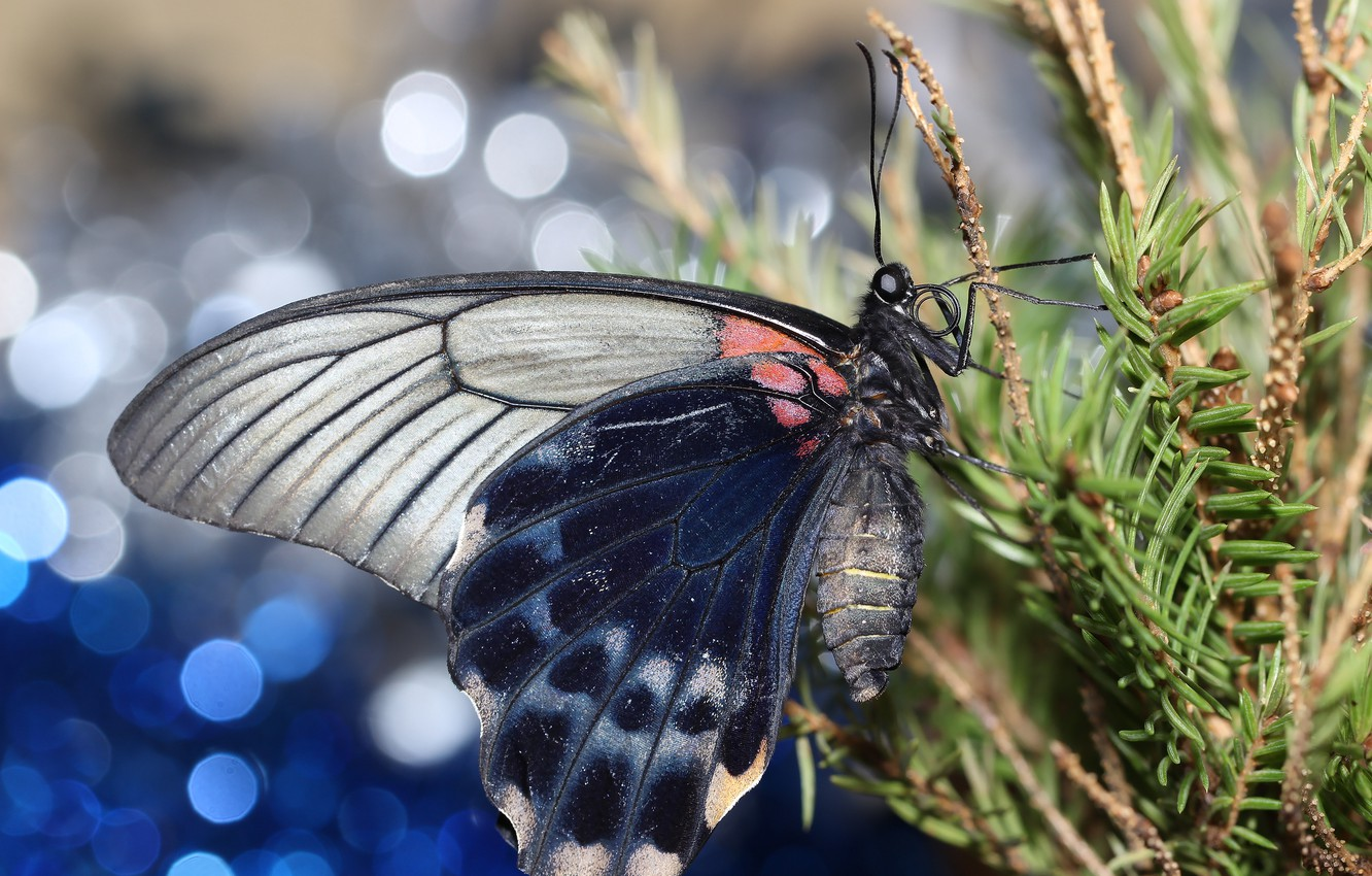 Photo wallpaper branches, background, butterfly, wings, spruce, bokeh