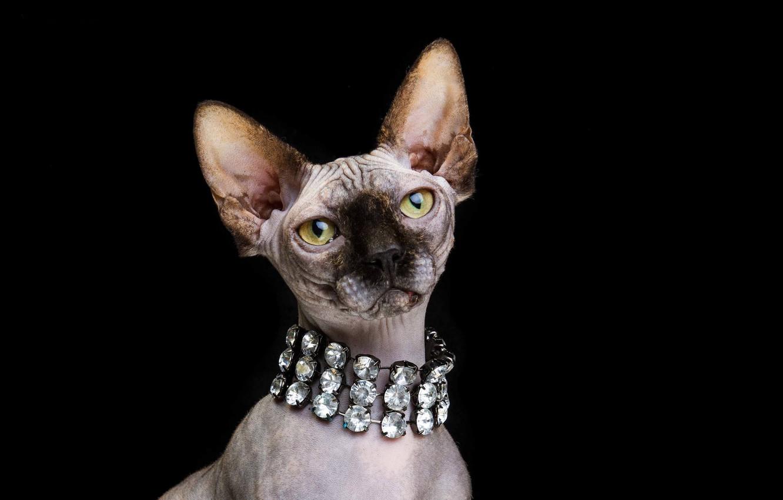 Photo wallpaper cat, look, portrait, muzzle, black background, necklace, Don Sphynx, Natalia Lays
