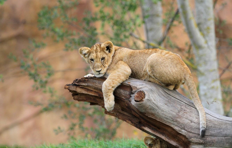 Photo wallpaper photo, Leo, trunk, lion