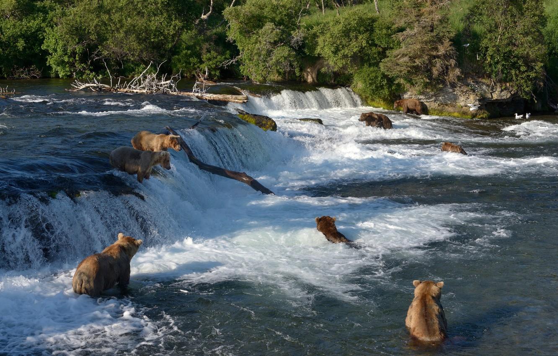 Photo wallpaper river, fishing, waterfall, bears, Alaska, bathing, Alaska, Katmai National Park, The Katmai national Park, Brooks …