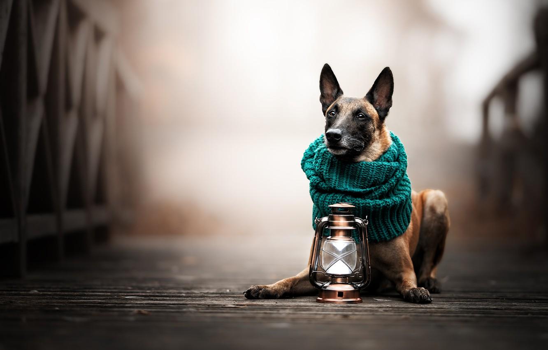 Photo wallpaper bridge, dog, scarf, lantern, bokeh, Malinois, Belgian shepherd