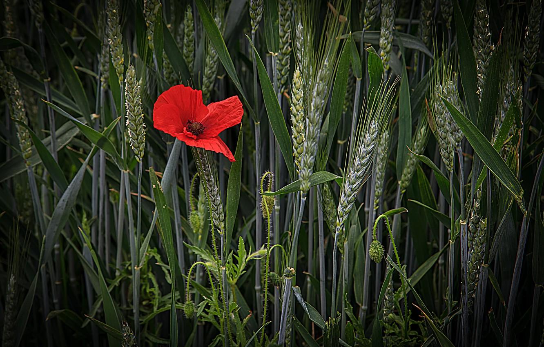 Photo wallpaper wheat, field, flower, Mac, ears