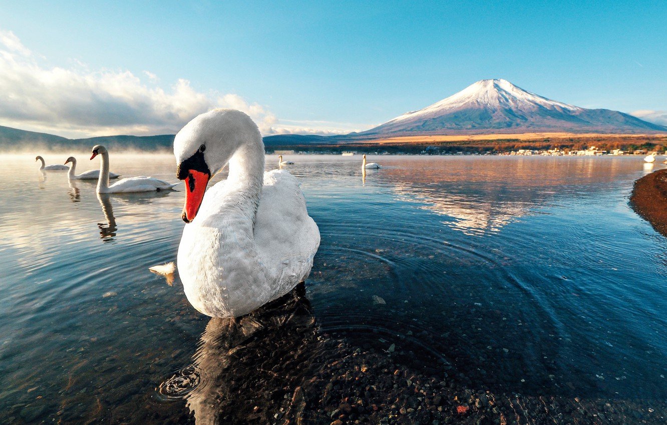 Wallpaper Swan Sunset Mountain Lake Snow Dawn Images For