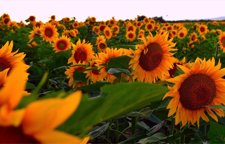 Wallpaper Field Sunflowers Field Sunflowers Images For Desktop Section Cvety Download