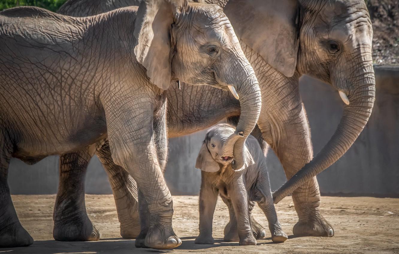 Photo wallpaper elephant, baby, family, mom, elephant
