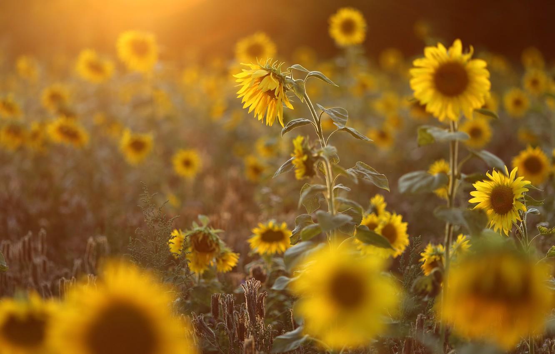 Wallpaper Field Summer Light Sunflowers Flowers Yellow