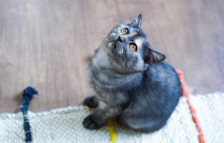 Photo wallpaper cat, look, kitty, grey, floor, Mat, kitty, sitting, view