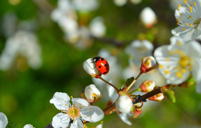 Photo wallpaper Spring, Ladybug, Flowering