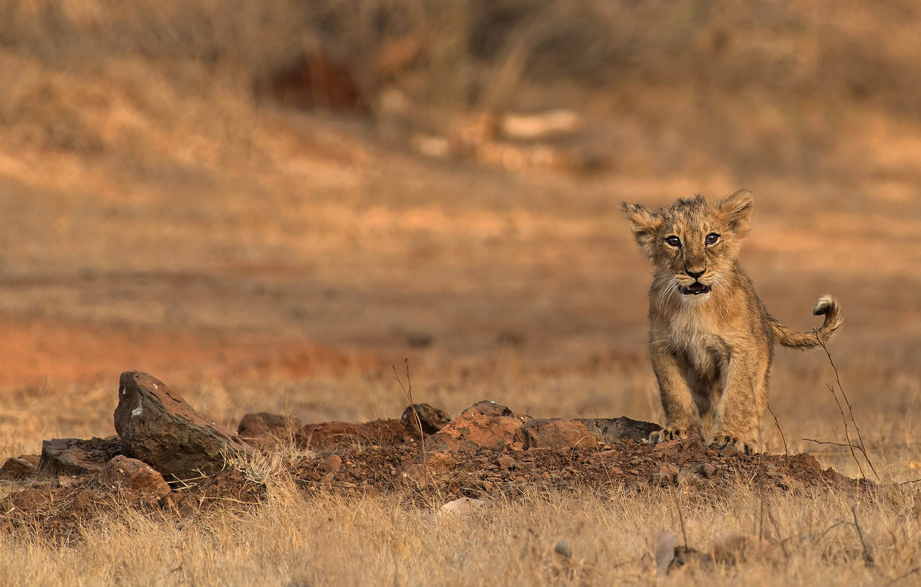 Photo wallpaper look, nature, pose, stones, baby, face, cub, lion, lion, blurred background