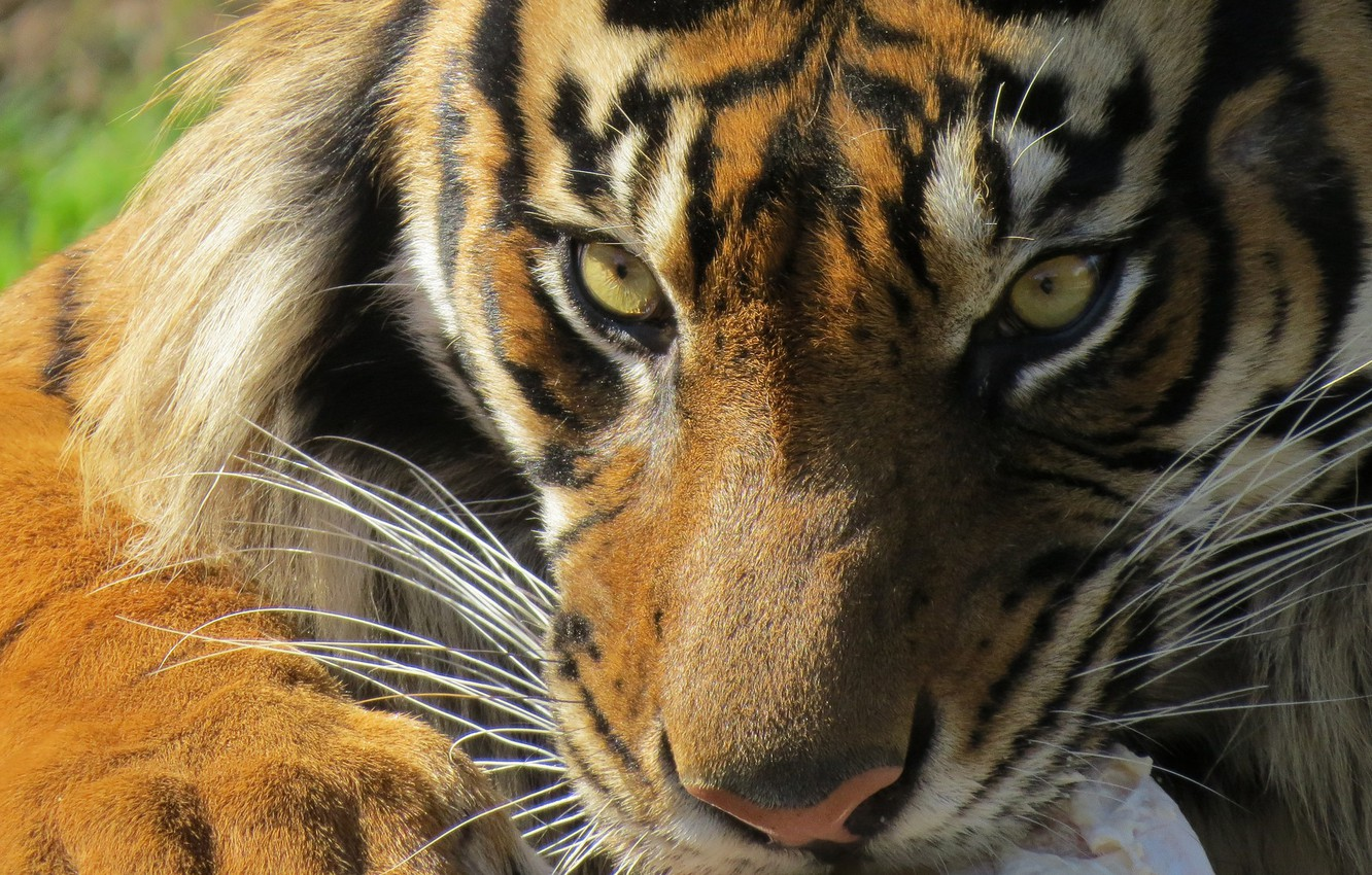 Wallpaper Eyes Look Tiger Images For Desktop Section Koshki