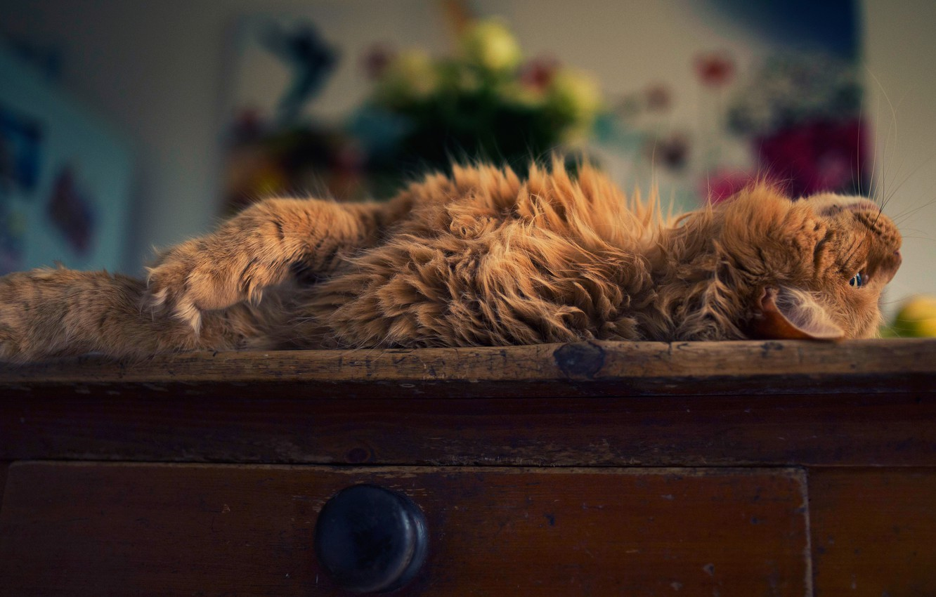 Photo wallpaper cat, cat, pose, room, fluffy, red, lies, box, chest, home