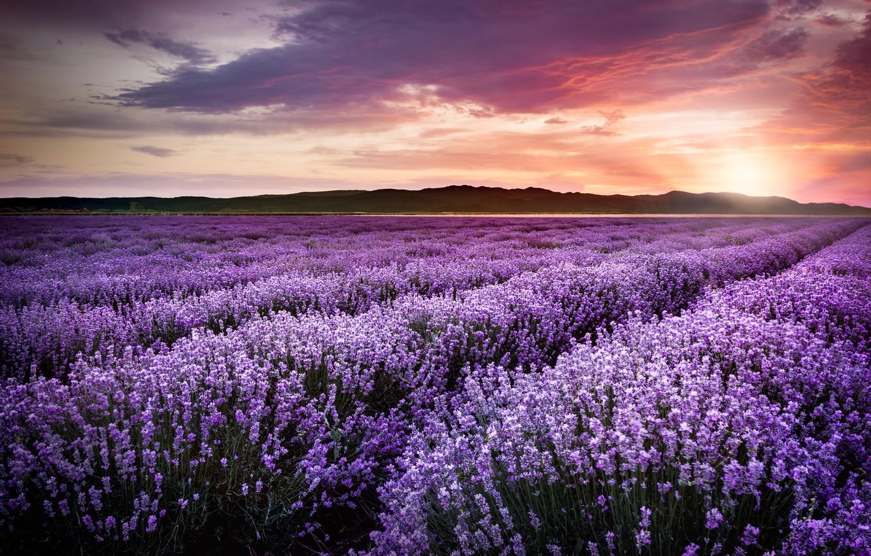 Wallpaper Purple Sunset Flowers Field Sunset Lavender Lavender Violet Lavender Field Blooming Images For Desktop Section Pejzazhi Download