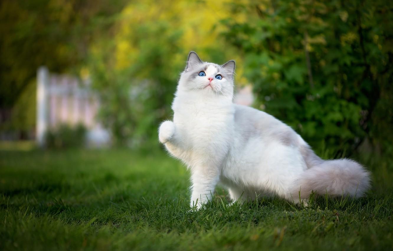 Photo wallpaper greens, cat, grass, cat, nature, pose, garden, white, blue eyes, kitty, cutie, lawn, friendly, foot, …