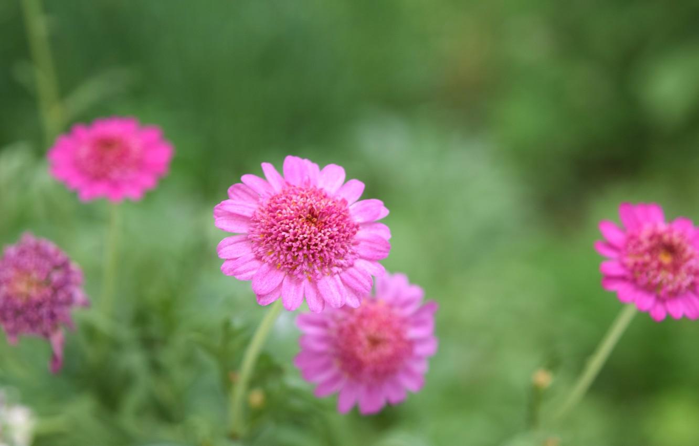 Photo wallpaper summer, macro, flowers, pink, wildflowers