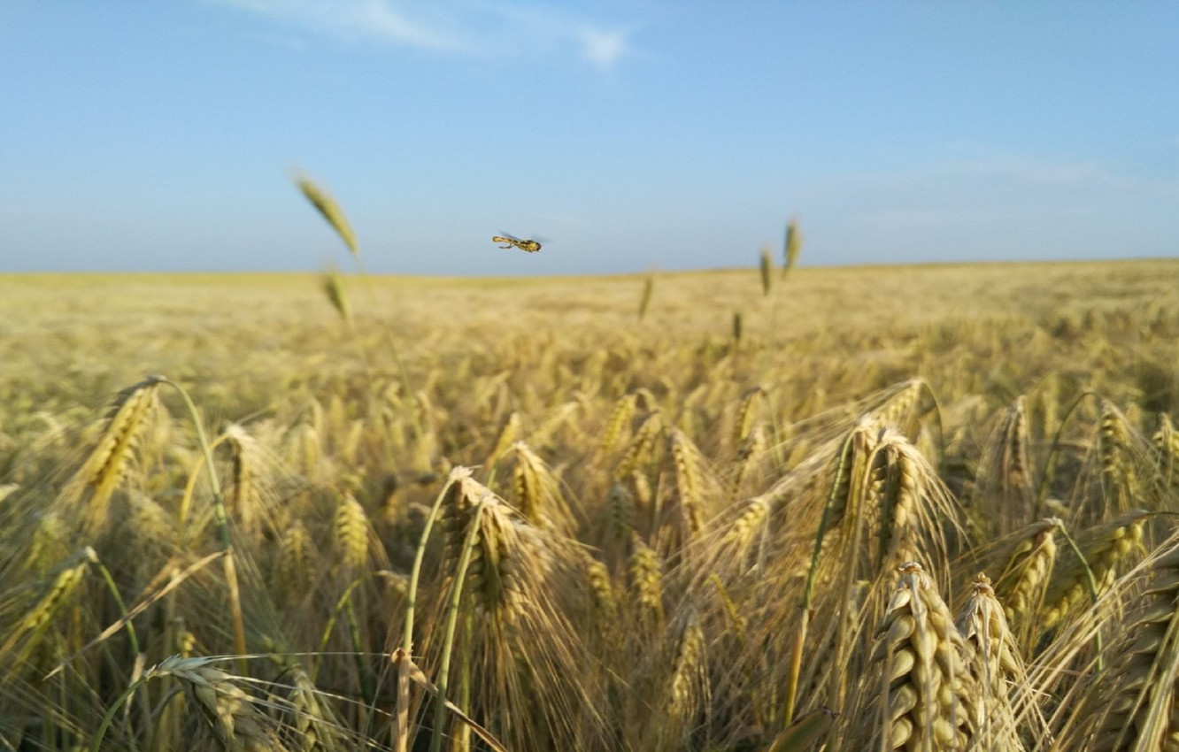 Photo wallpaper nature, dragonfly, wheat. summer