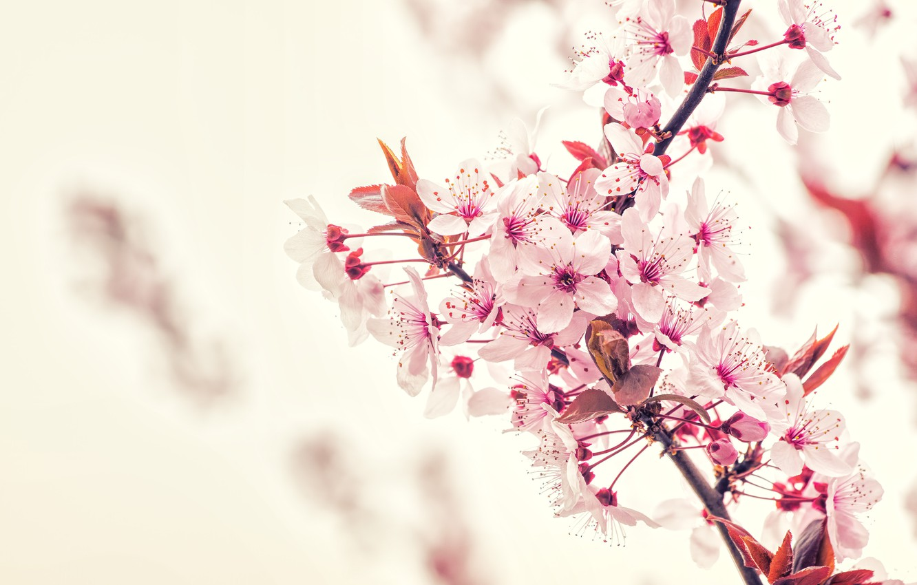 Photo wallpaper Flowers, Nature, Color, Spring, Flower, Leaves, Plant, Garden, Branch, Branches, Plants, Nature, Cherry, Flower, Flowers, …