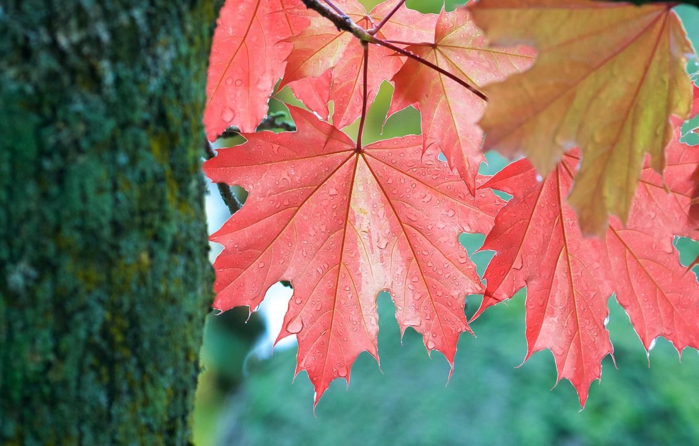 Photo wallpaper autumn, leaves, tree, leaf, trunk, maple, maple leaves, autumn, maple leaves, blushing