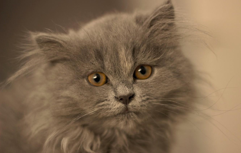 Photo wallpaper look, grey, fluffy, muzzle, kitty