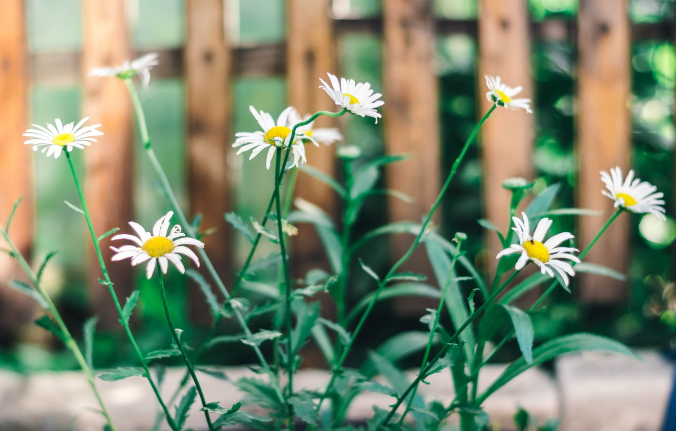 Photo wallpaper greens, summer, flowers, nature, chamomile