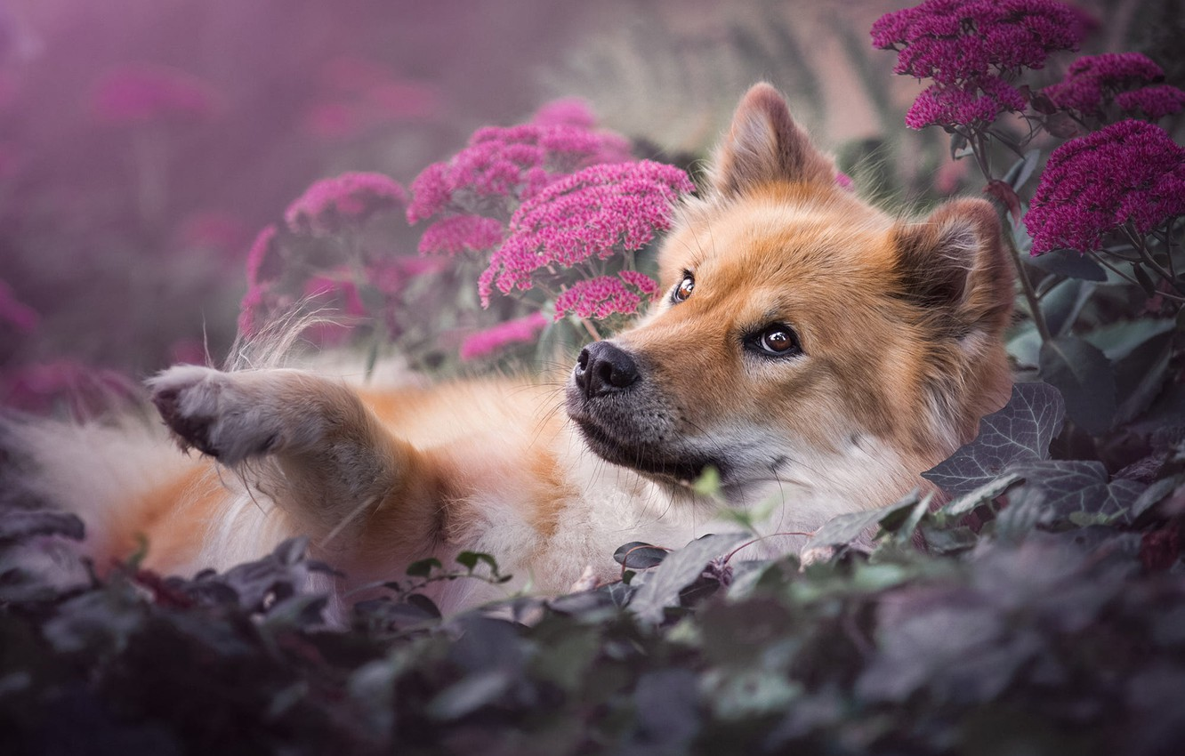 Photo wallpaper look, face, leaves, flowers, nature, pose, background, stay, paw, portrait, dog, garden, lies, red, pink, ...