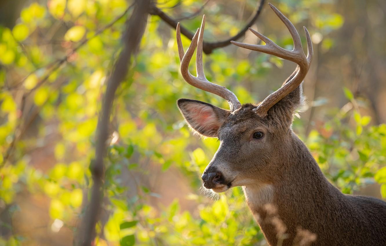 Photo wallpaper look, face, nature, portrait, deer, horns