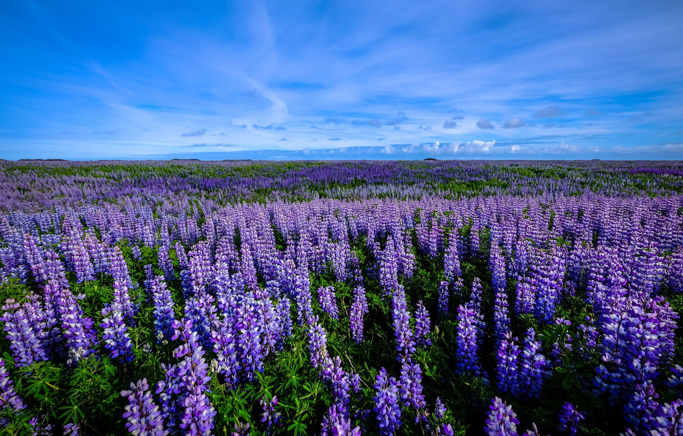 Photo wallpaper field, the sky, flowers, lavender
