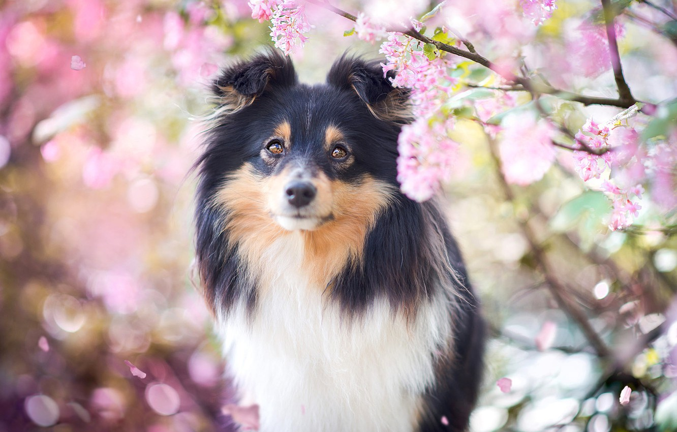 Photo wallpaper look, face, light, flowers, branches, background, portrait, dog, spring, petals, garden, puppy, pink, flowering, inflorescence, …